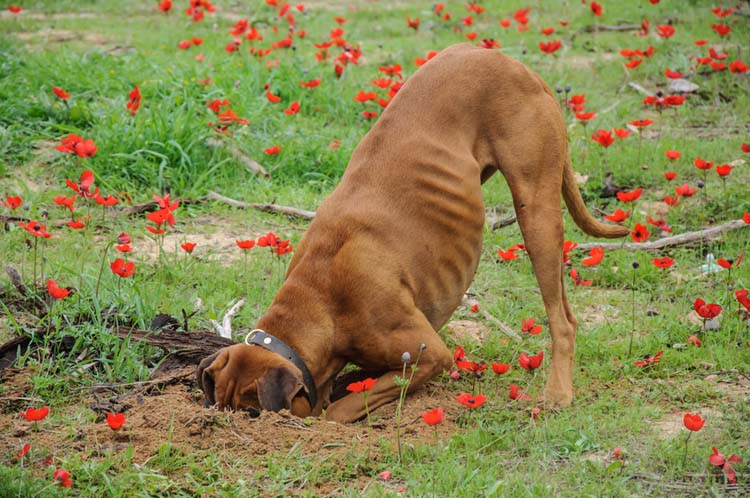 how to stop a dog from digging dog training nation
