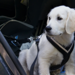 Selecting the Best Dog Seat Belt