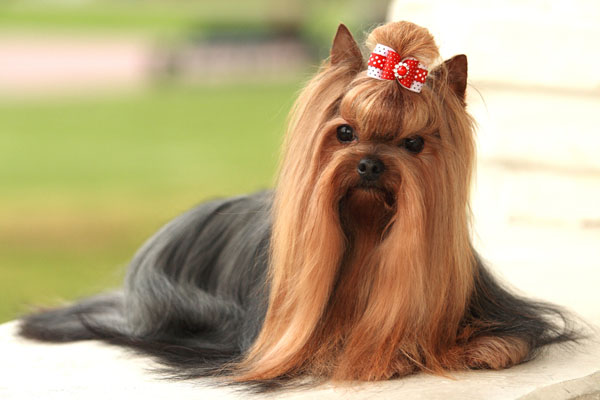 Yorkshire Terrier Small Dog Breeds Hairstylegalleries Com