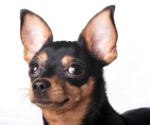 Black Infection In Dogs Ears