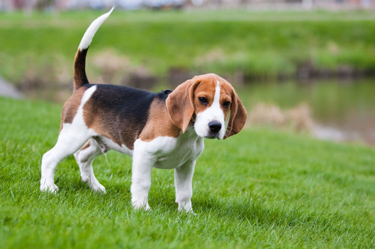 Beagle Hound Dogs Pictures