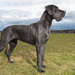 Dog Breed of the Week: Great Dane