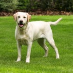Dog Breed of the Week: Labrador Retriever