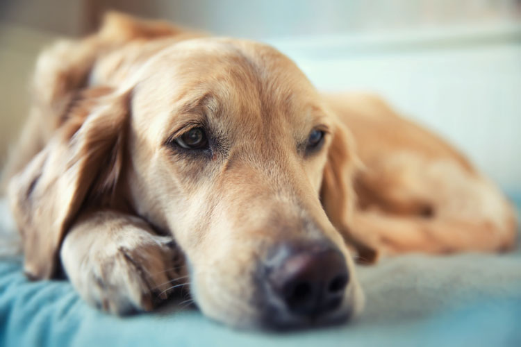 Leaving Your Dog Home Alone Tips Dog Training Nation