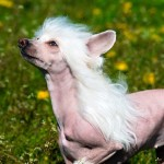 Dog Breed of the Week: Chinese Crested Dog