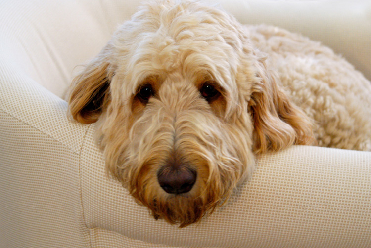 Dogs That Dont Shed 23 Hypoallergenic Dog Breeds Autos Post