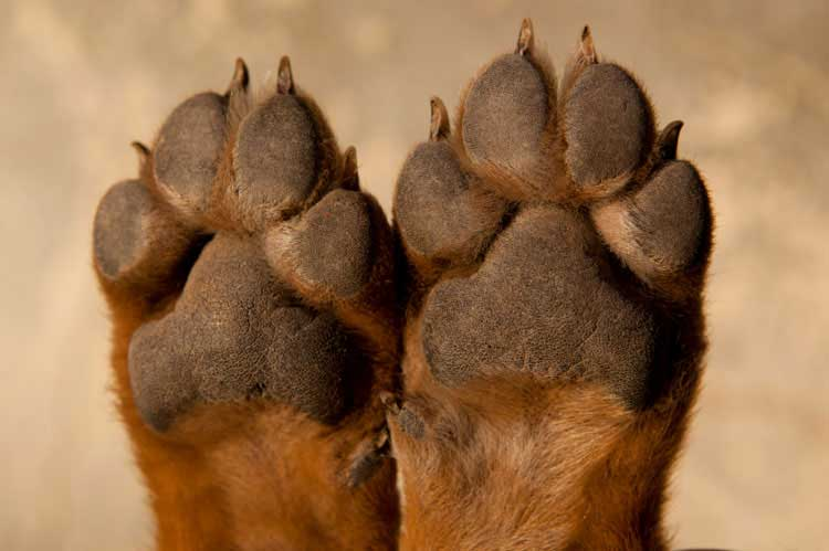 A Dog With Slippers On His Paws