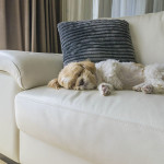 Leather Furniture And Dogs How To Make It Work Dog Training Nation