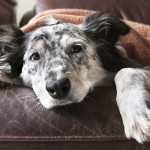 Inflammatory Bowel Syndrome In Dogs
