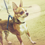 What to Do When Your Puppy Won't Walk on Leash