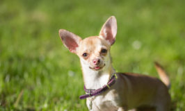 Dog Breed Of The Week: Chihuahua