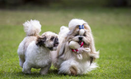 Dog Breed Of The Week: Shih Tzu