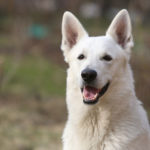 Dog Breed Of The Week: White German Shepherd Dog