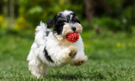 Dog Breed Of The Week: Havanese
