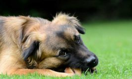 Pros And Cons Of Cow Hooves For Dogs