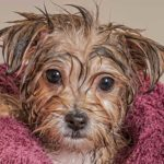 DIY Natural Flea Shampoo For Dogs