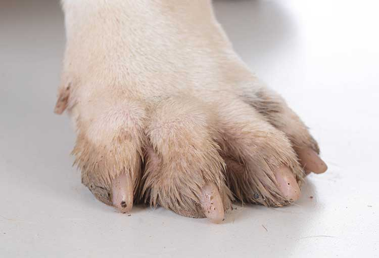 Dog Yeast Infections