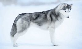 Thinking Of Getting A Siberian Husky? Read This