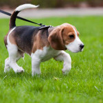 What To Do When Your Dog Refuses Walk Training Nation