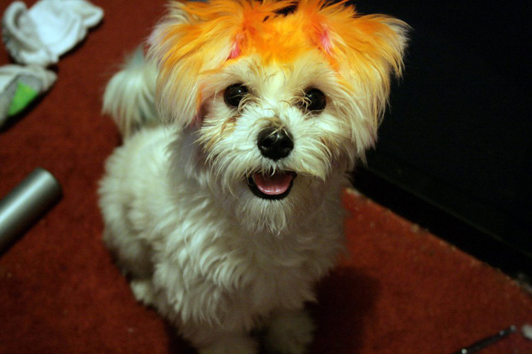 Dyeing Your Dog S Hair Dog Training Nation