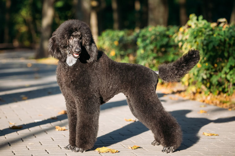 Standard Poodle Archives Dog Training Nation