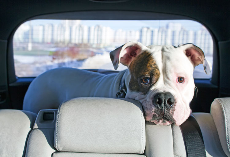 How to Cure Dog Car Sickness | Dog Training Nation