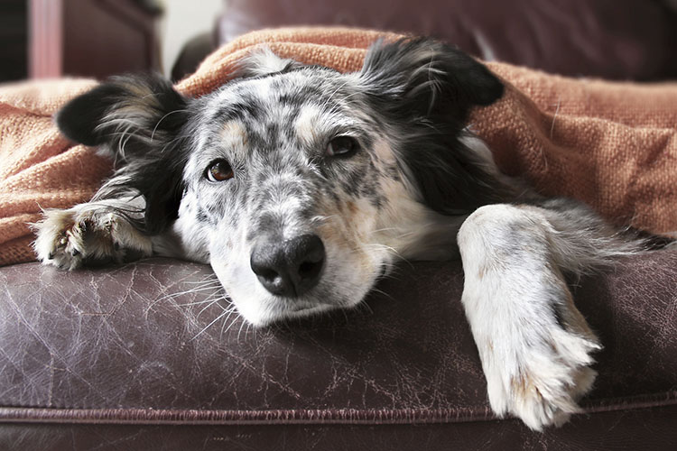 How To Cure Dog S Inflammatory Bowel Disease