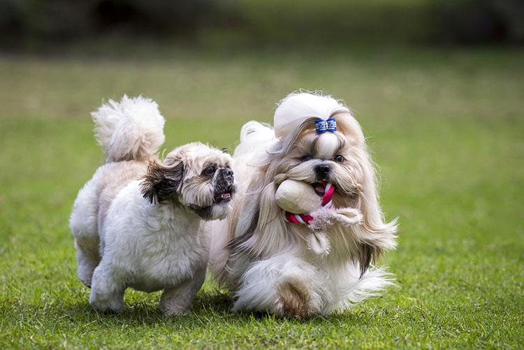 imperial shih tzu Archives | Dog Training Nation