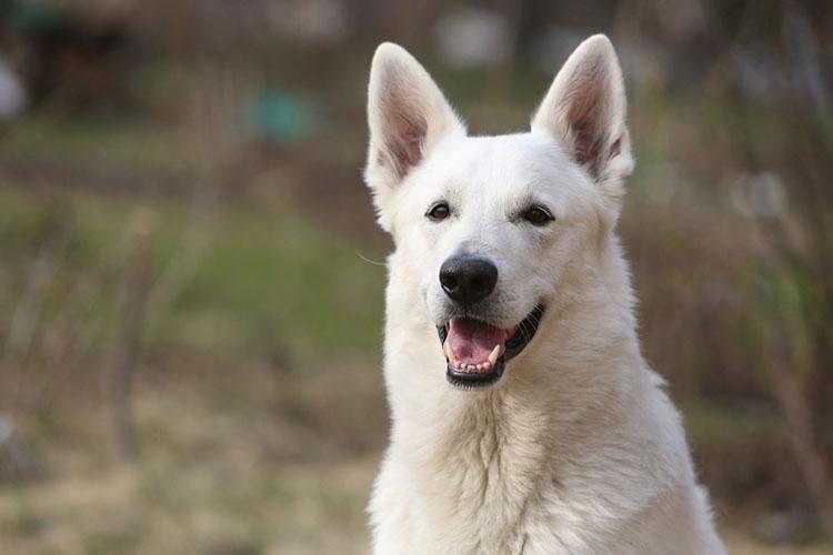 Dog Breeds White German Shepherd