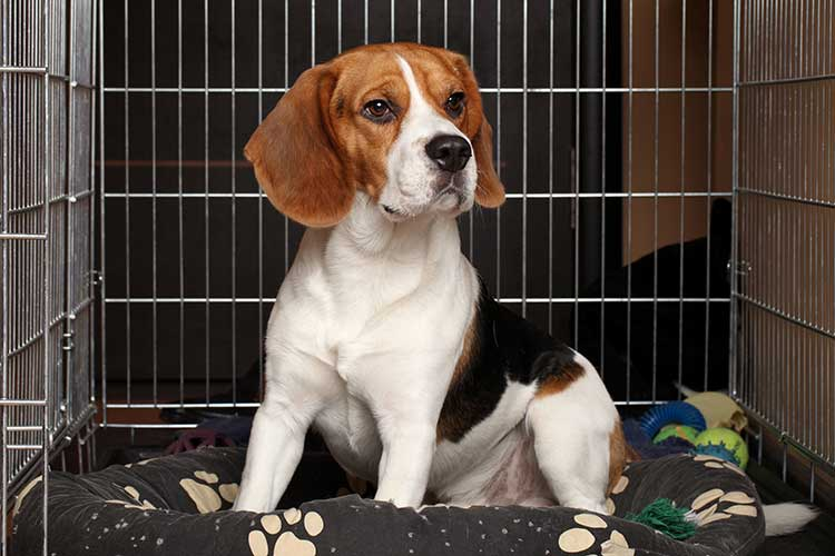 Caring For A Dog After His Neuter Surgery | Dog Training ...