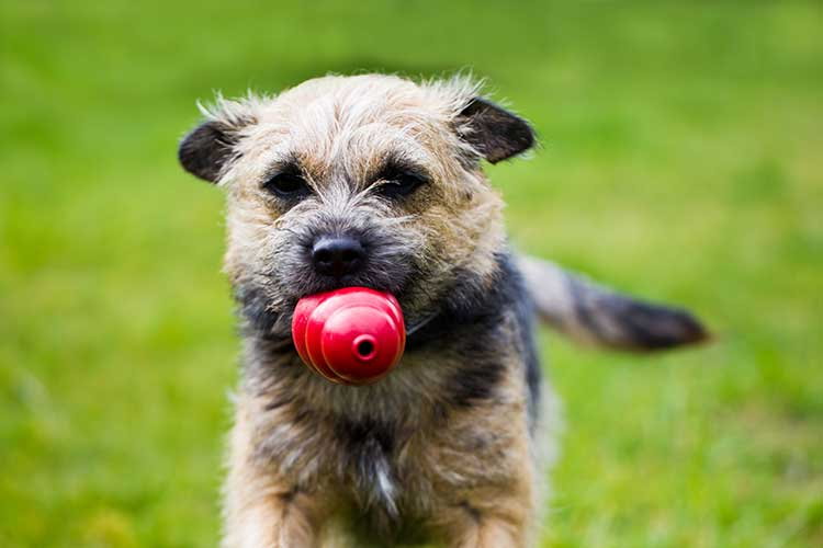 Choosing Amp Introducing A Kong To Your Dog Dog Training
